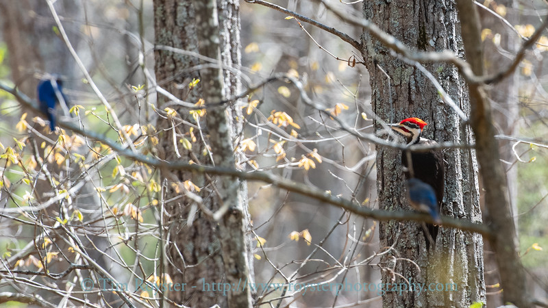 Pileated Woodpecker with Eastern Bluebirds in foreground