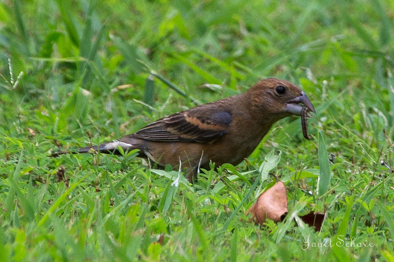 IMAGE: http://jschove.smugmug.com/Nature/Birds/i-k5SXbLV/0/L/Blue%20Grosbeak_8301-L.jpg