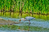 Great Blue Heron eating a fish at Colusa 2014 #6a