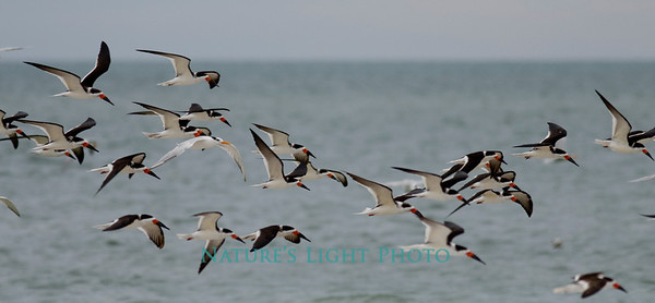 Black Skimmers in Flight 2-6978