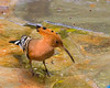 African Hoopoe {Upupa africana}<br /> Jurong Bird Park <br /> Singapore <br /> © WEOttinger, The Wildflower Hunter - All rights reserved<br /> For educational use only - this image, or derivative works, can not be used, published, distributed or sold without written permission of the owner.