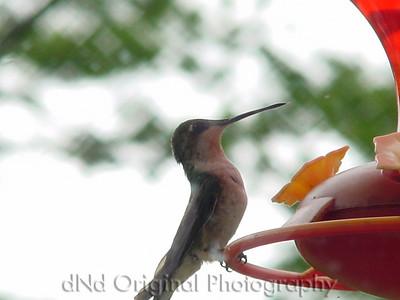 Humming Bird 2002