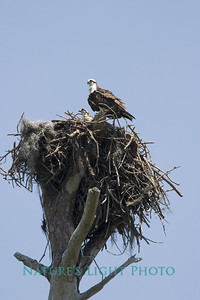 Osprey Nest, Honeymoon Island State Park, FL