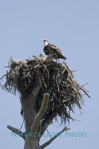 Osprey Nest, Honeymoon Island State Park, FL