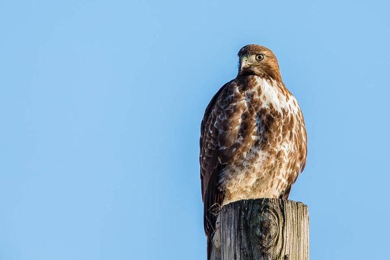 Rough-legged Hawk, Emigrant Hill, Oregon
