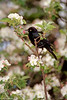 Brewer's Blackbird in blossoming tree in Yosemite-2
