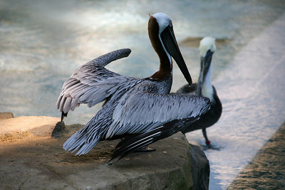 Brown Pelicans.  Taken at the National Zoo in Washington DC.