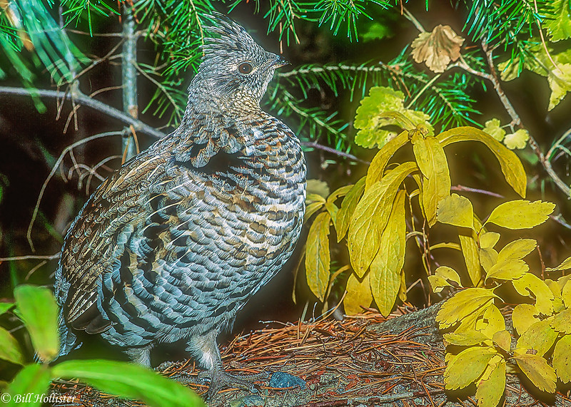Ruffed Grouse in Tetons with autumn leaves-a2-2