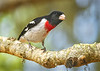 Red-breasted Grosbeak Pheucticus ludovicianus