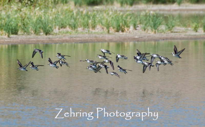 A flock of shorebirds in flight.