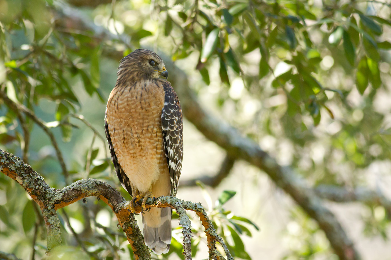 Red-shouldered Hawk, near the Tallahassee Museum, Florida