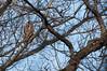 Great Horned Owl, Sandy Ridge Reservation, 4/2/2010.