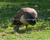 Peahen and chick (Common Peafowl)