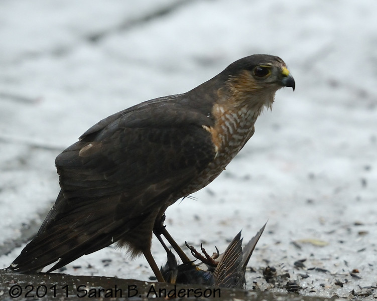 Sharp-shinned (I think) hawk dispatching a starling on my patio.<br /> <br /> Shortly after this photo the hawk flew off with the starling.<br /> <br /> Cabin John, Montgomery County, Maryland<br /> January 2011