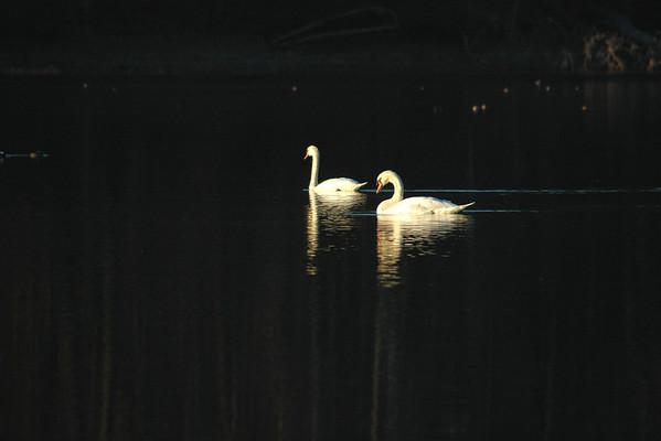 11/16/13 - Swans on Kenoza