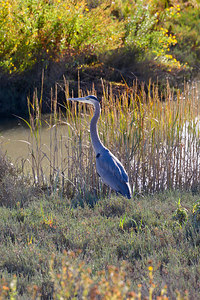 Great Blue Heron at Las Gallinas Sanitation District settling ponds.