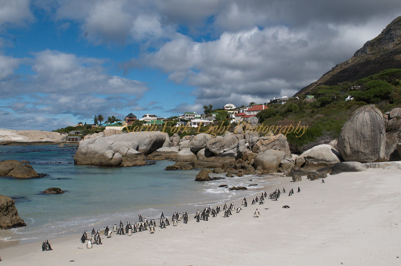 African Penguins beach stroll.