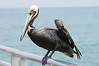 Pelican on Cape Canaveral pier