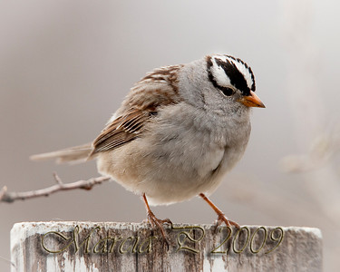 A Cock White Crowned Sparrow