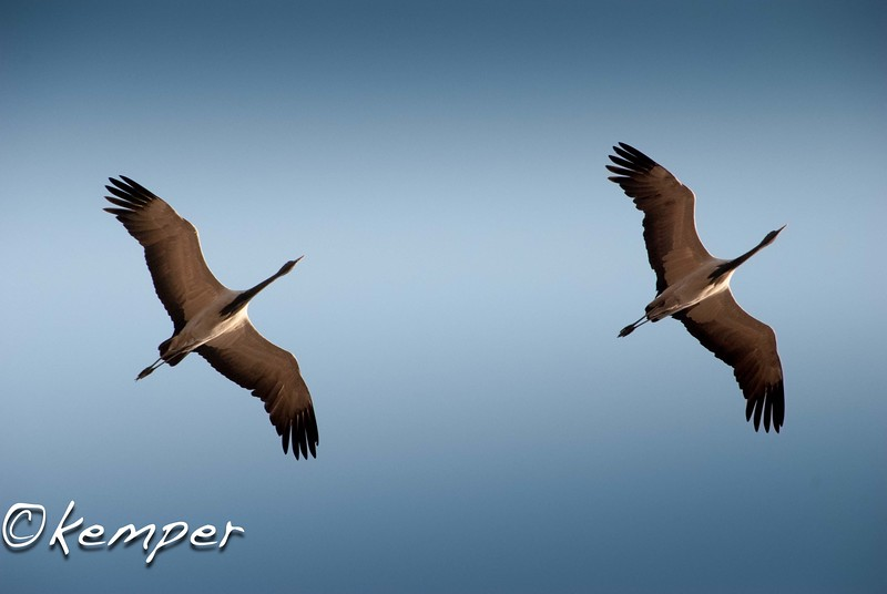 Demoiselle Cranes in Flight 3
