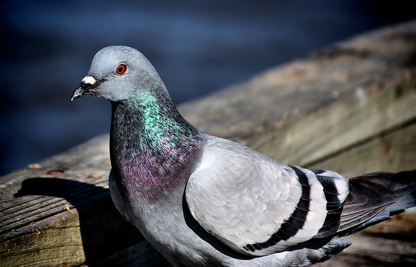 A rock dove (a.k.a. common pigeon; Columba livia) standing on a sunny pier (2008_12_27_003660)