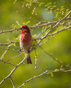 Little Red Bird in Desert Tree