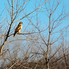 Perched Red-tailed Hawk