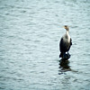 Double-crested Cormorant (Phalacrocorax auritus)<br /> Chincoteague, Virginia, USA<br /> IUCN Status: Least Concern