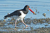 American Oystercatcher, Ft. DeSoto State Park, Florida