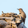 Northern Flicker, Emigrant Hill, Oregon