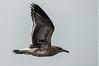 Herring Gull, Prime Hook NWR, 8-1-14