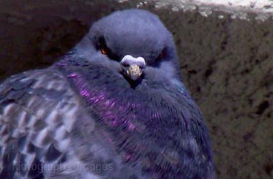 Pigeon Keeping Warm