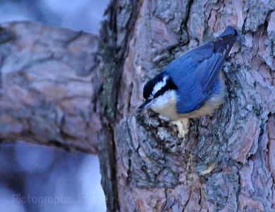 A Nuthatch Searching for Food