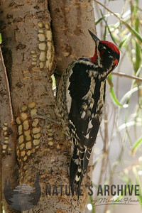 Red-Naped Sapsucker, Boyce Thompson, AZ