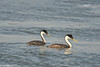 Western grebe pair at Tule Lake refuge #4 7-2008