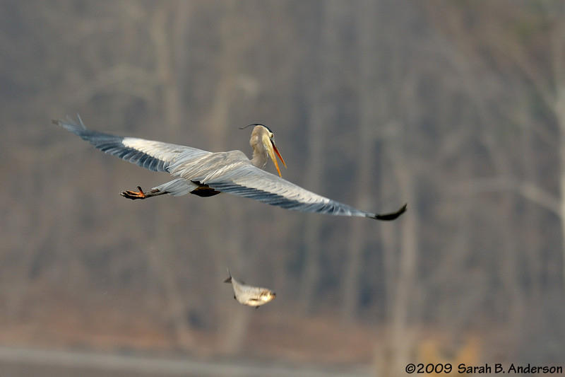 The one that got away<br /> Great Blue Heron drops its meal<br /> Potomac River<br /> Fairfax County, Virginia<br /> January 2009