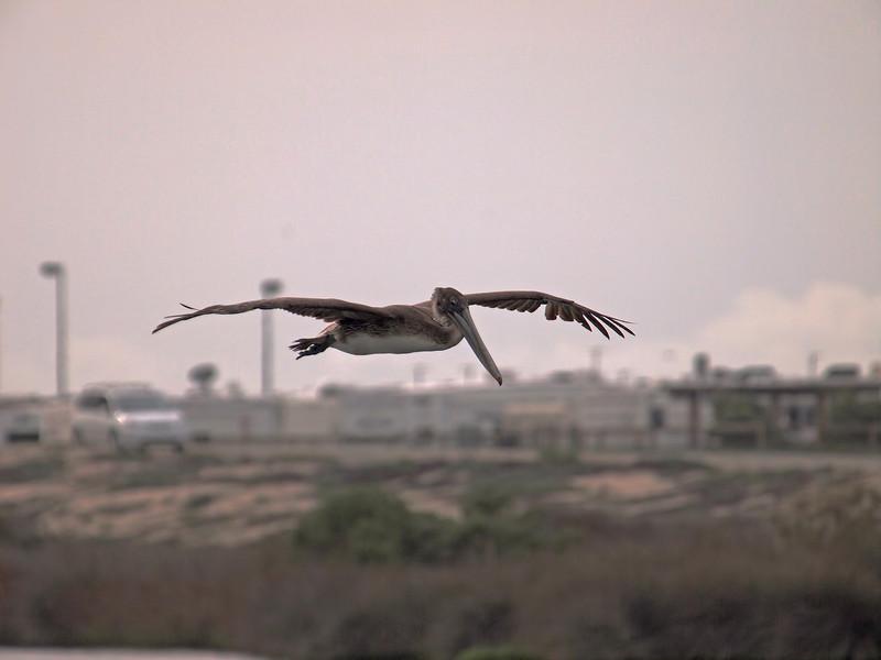 Brown Pelican at Bolsa Chica Reserve - 19 Mar 2011