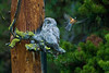 Great Grey Owl being harassed by a Robin.