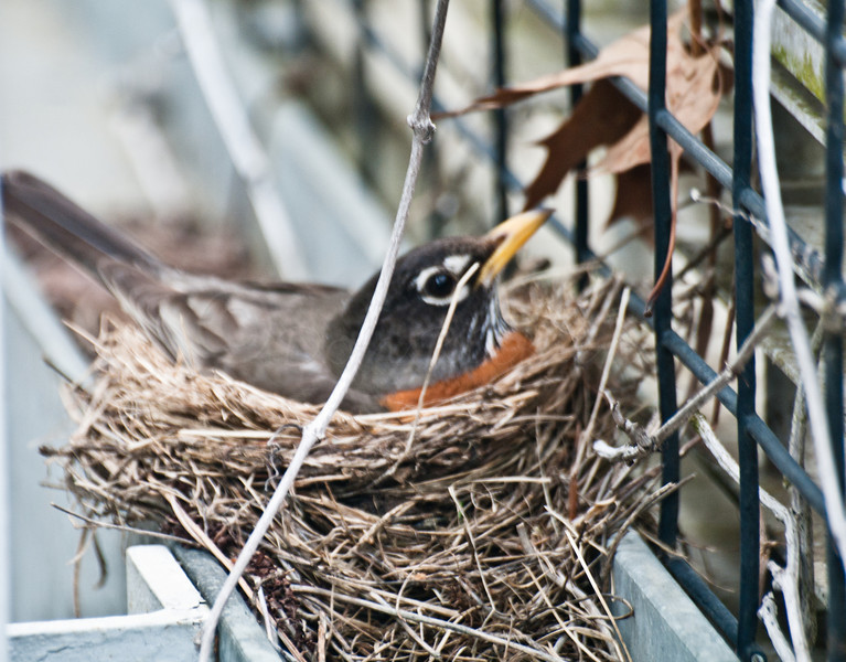 Robin's Nest with sitting mom.