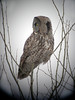 Great Gray Owl<br /> Minnesota