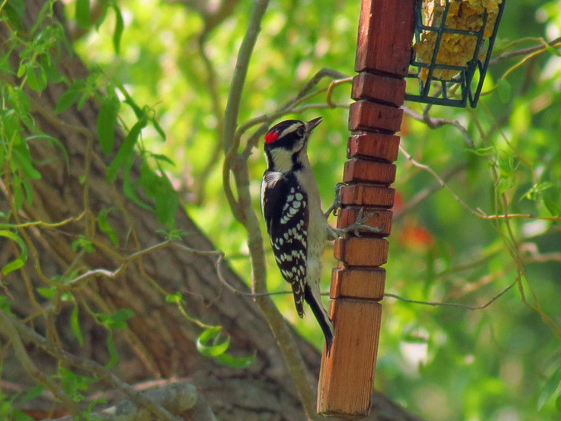 A small Downy Woodpecker.