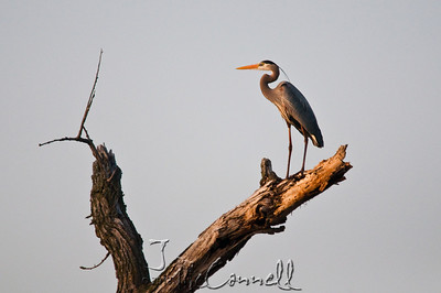 Early Morning Great Blue Heron