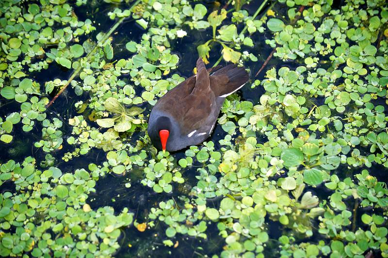 Common Moorhen, Green Cay, Florida
