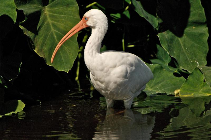 White Ibis, Merritt Island National Wildlife Refuge, Florida