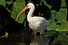 White Ibis, Merritt Island National Wildlife Refuge, Florida