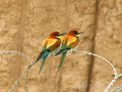 European Bee Eaters Kirkuk, Iraq