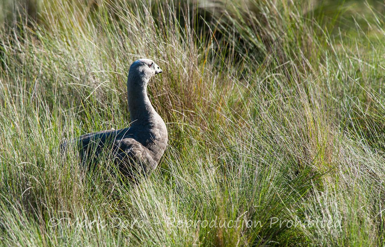Cape Barren Goose, Werribee, Victoria