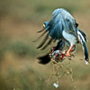 Eastern Chanting Goshawk (Melierax poliopterus) with prey<br /> Near Amboseli National Park, Kenya<br /> IUCN Status: Least Concern