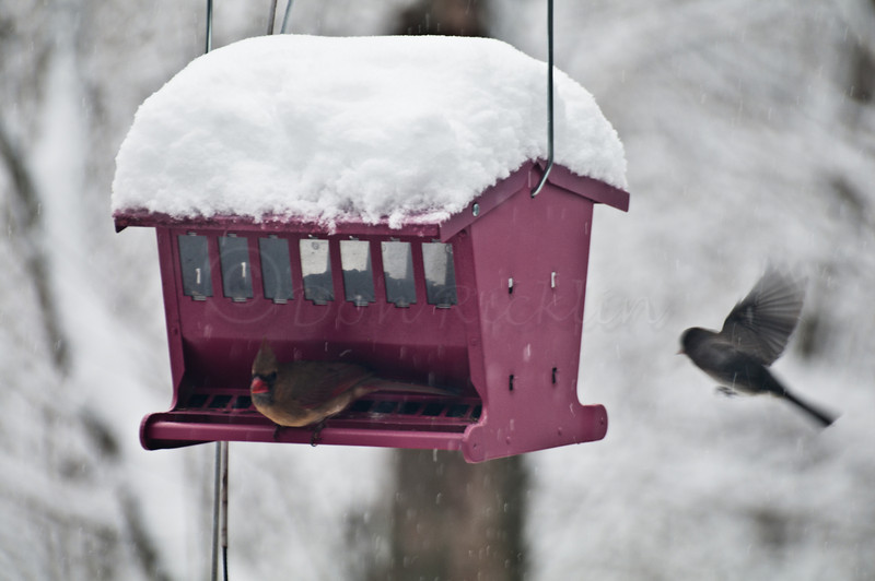 Female Cardinal & Junco coming in for a landing at the feeder. Backyard shot