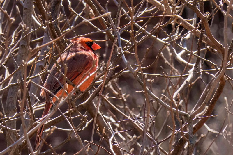 Male cardinal in thicket, Kensington, MD 2018-03-24